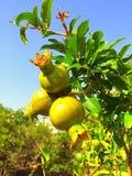 De groene granaatappels op een boom vertakken zich in de tuin tegen een blauwe hemel royalty-vrije stock afbeelding