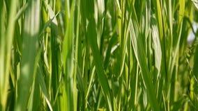 De groene gras macro mooie zomer als achtergrond HD videolengte1920x1080 statische camera stock video