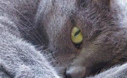 De groene grijze kat van het kattenoog kijkt lui royalty-vrije stock afbeelding