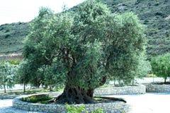 De Groene grote olijf royalty-vrije stock afbeelding