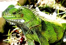 De groene Hagedis van de Leguaan Stock Foto's