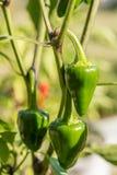 De groene hete peper groeit in hun eigen tuin stock afbeeldingen