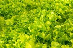 De groene hydroponic organische groente van de slasalade Stock Afbeeldingen