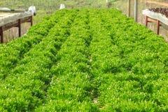 De groene hydroponic organische groente van de slasalade Royalty-vrije Stock Afbeeldingen
