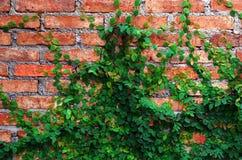 De groene Installatie van de Klimplant op rode muur Royalty-vrije Stock Fotografie