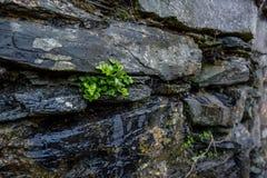 De groene installaties groeien tussen de rotsen stock foto's