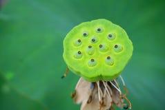 De groene kelk van de kleurenlotusbloem stock foto