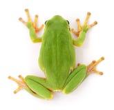 De groene kikker isollated stock fotografie