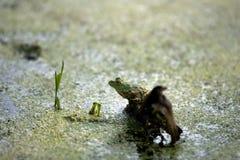 De groene Kikker van de Boom Stock Foto's