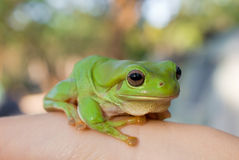 De groene Kikker van de Boom Royalty-vrije Stock Foto's