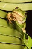 De groene Kikker van de Boom op het Varenblad van de Palm royalty-vrije stock afbeeldingen