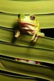 De groene Kikker van de Boom op het Varenblad van de Palm stock afbeelding