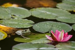 De groene kikker zit op leliebladeren in een vijver royalty-vrije stock afbeeldingen