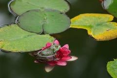De groene kikker zit op leliebladeren in een vijver stock foto's