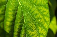 De groene kiwibladeren op de wijnstok, sluiten omhoog royalty-vrije stock fotografie