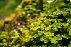 De groene klaver doorbladert in het bos Stock Foto