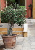 De groene kleine installatie van de bonsaipot bij wegvoetpad het omringen met Italiaans mediteranian stijlhuis Stock Afbeelding