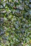De groene klimop doorbladert op een muur als achtergrond royalty-vrije stock afbeelding