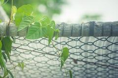 De groene klimop kronkelt zich op metaal netto bij openluchttuin Stock Foto's