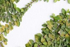 De Groene Klimplantinstallatie op een Witte Muur Royalty-vrije Stock Afbeeldingen