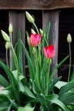 de groene knoppen van tulpen en bloemen in de tuin royalty-vrije stock fotografie