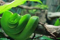 De groene krul van de boompython royalty-vrije stock afbeelding