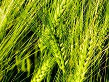 De groene landbouw van het tarwegebied Stock Foto's