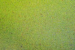 De groene lelie vult achtergrond op meer op royalty-vrije stock fotografie