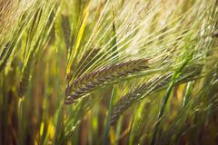 De groene de lentekorrels van tarwe, sluiten omhoog van tarweoren op het gebied Stock Foto's