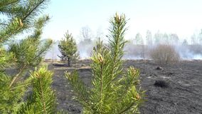 De groene levende tak van pijnboom met gebrand rokend bos op achtergrond, contract, bewaarde boom tegenover vernietigde natuurlij stock footage