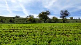 De groene linzeaanplanting, gecultiveerde linzeinstallatie op het gebied, sluit omhoog, stock video