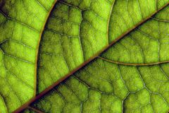 De groene Macroclose-up van Bladaders Stock Foto's