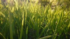 De groene macrozon van de graslengte glanst door de bladeren mooie achtergrond van de lente Video die statische camera sluiten stock videobeelden
