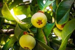 De groene Mangostan, Mangostan is gesynchroniseerd 'Koningin van het fruit ' royalty-vrije stock fotografie
