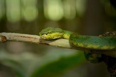 De Groene mooie slang van Pit Viper royalty-vrije stock foto's