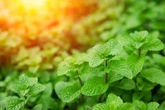 De groene Munt verlaat hoge gezonde installatie Stock Afbeeldingen
