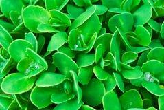 De groene natuurlijke achtergrond van het bladerenclose-up stock afbeeldingen