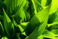 De groene natuurlijke achtergrond van het bladerenclose-up stock fotografie