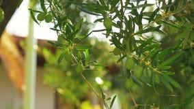 De groene olijfboom tuiniert binnenshuis op zonnige dag stock footage