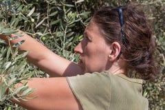De groene olijven van de vrouwenoogst, Israël royalty-vrije stock foto