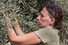 De groene olijven van de vrouwenoogst, Israël stock fotografie
