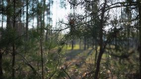 De groene Onaangeroerde sparren van Forest Pine Trees Fairy Forest Bospatroon stock videobeelden