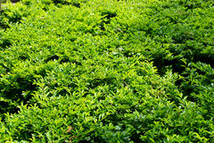 De groene oppervlakte van de tuinhaag Stock Afbeelding