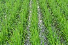 De groene padievelden Stock Foto