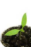 De groene paprika van de spruit Stock Foto's