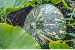 De groene pompoen met oranje strepen groeit in het gebied of de tuin Russisch hommadeproduct royalty-vrije stock foto