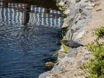 De groene Reiger vangt een zilveren vis op de rotsachtige meerkust stock foto's