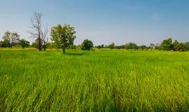 De groene rijst flied stock afbeelding