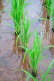 De groene rijstinstallatie toont landbouwachtergrond Royalty-vrije Stock Afbeelding