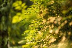 De groene romantische zonneschijn van Bokehbomen Stock Afbeelding